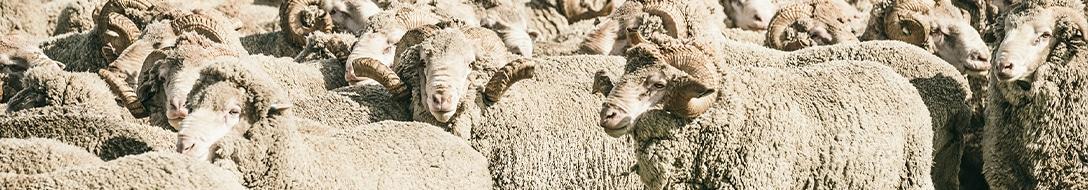 merino-wool-sheep